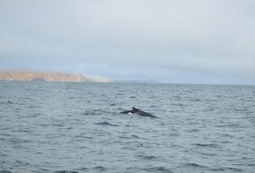 Kambur balinamız nefes almaya çıkmış