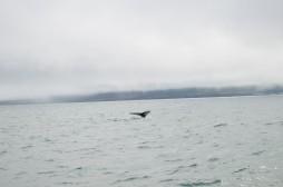 Kambur balinanın derin dalışından evvelki pozu