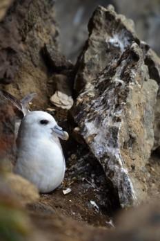 Dyrhólaey koruma alanında bir deniz kuşu; bedeninin altında yavrusunu koruyor