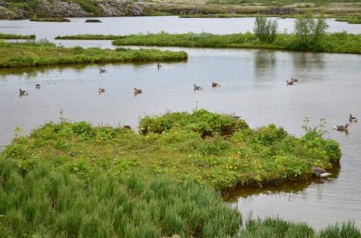 Tingvellir Milli Park'ının kazları