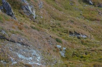 Dağ sıçanı(Marmot)