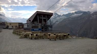 Koyun çetesi