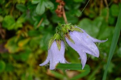 Çan çiçeği