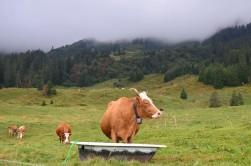 Buranın inekleri tek kelimeyle muhteşem. Şunun endamına bakar mısınız?