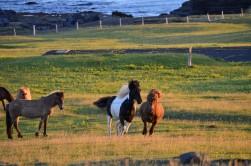Vahşi İzlanda atları