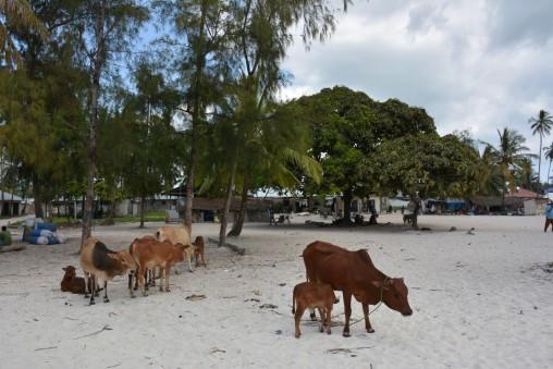 Köy merkezindeki kumsalda bulunan inekler çok tatlı:)