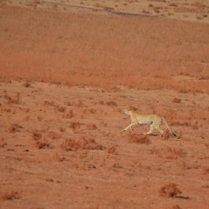 İlk Çita'mız ve sanırız en güzel olanı