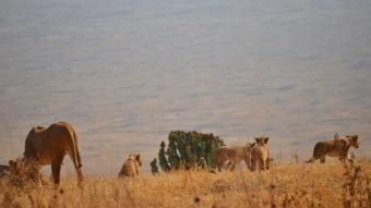 Pek tatlı bir aslan ailesi:)