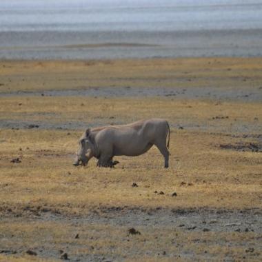 Afrika Domuzu yemeğini ön dizleri üzerine çökerek yiyor:)