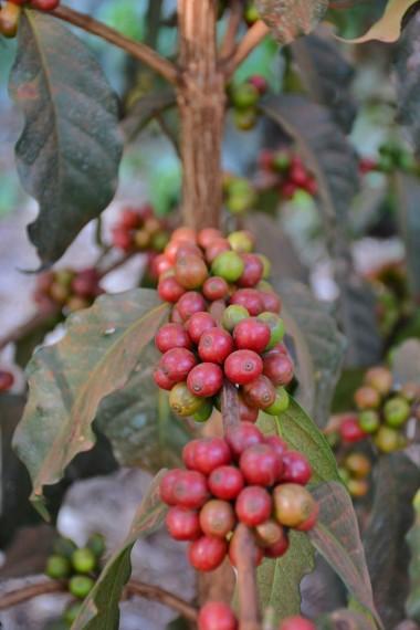 Olgunlaşmak üzere olan kahveler