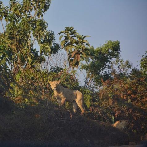 İlk aslanlarımız:)
