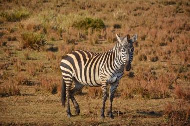 İlk Zebramız:)