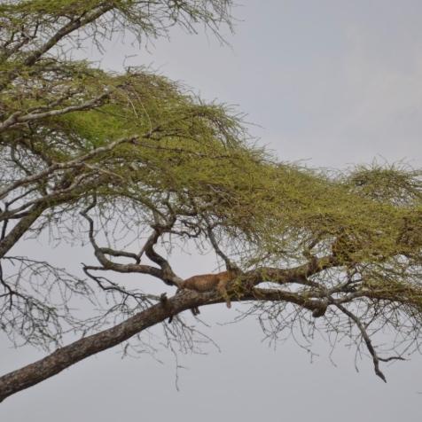 Ağacın üstünde henüz yemeğini yeni yemiş bir Afrika Leoparı