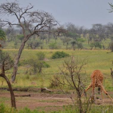 Zürafalar su içerken çok komikler:)