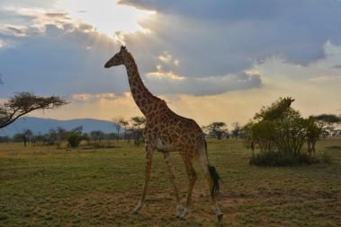 Gördüğümüz ilk zürafamız:)
