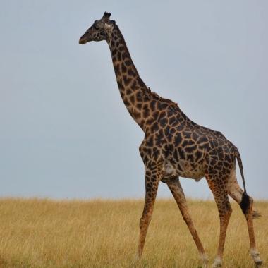 Rengi daha koyu olduğu için daha yaşlı olduğunu öğrendiğimiz zürafa:)