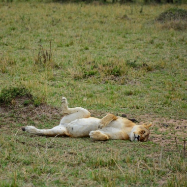 Keyifle uzanmış bir dişi aslan