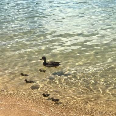 Ördek ailesi gölün tadını çıkartıyor